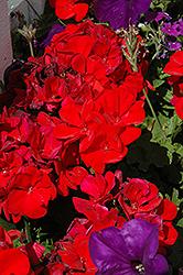 Dynamo Red Geranium (Pelargonium 'Dynamo Red') at Roger's Gardens