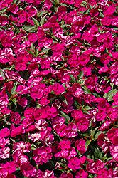 Fanfare Fuchsia Impatiens (Impatiens 'Fanfare Fuchsia') at Roger's Gardens