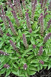 Floral Spires Lavender Basil (Ocimum basilicum 'Floral Spires Lavender') at Roger's Gardens