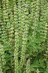 Sweet Dani Basil (Ocimum basilicum 'Sweet Dani') at Roger's Gardens