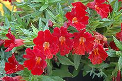 Sidewinder California Fuchsia (Epilobium canum 'Sidewinder') at Roger's Gardens