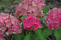 Everlasting Garnet Hydrangea (Hydrangea macrophylla 'Everlasting Garnet') at Roger's Gardens