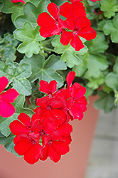 Caliente Deep Red Geranium (Pelargonium 'Caliente Deep Red') at Roger's Gardens