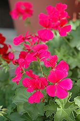 Caliente Rose Geranium (Pelargonium 'Caliente Rose') at Roger's Gardens