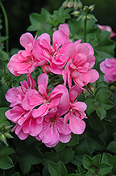 Precision Light Pink Ivy Leaf Geranium (Pelargonium peltatum 'Precision Light Pink') at Roger's Gardens
