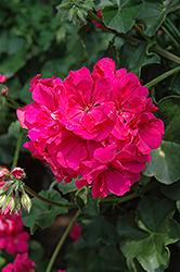 Focus Rose Ivy Leaf Geranium (Pelargonium peltatum 'Focus Rose') at Roger's Gardens