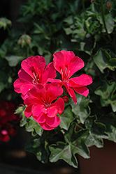 Focus Hot Pink Ivy Leaf Geranium (Pelargonium peltatum 'Focus Hot Pink') at Roger's Gardens