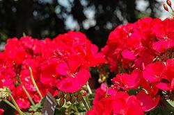 Allure Purple Rose Geranium (Pelargonium 'Allure Purple Rose') at Roger's Gardens