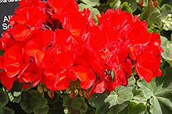 Allure Scarlet Geranium (Pelargonium 'Allure Scarlet') at Roger's Gardens