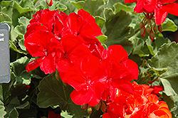 Allure True Red Geranium (Pelargonium 'Allure True Red') at Roger's Gardens