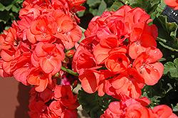 Pinnacle Neon Geranium (Pelargonium 'Pinnacle Neon') at Roger's Gardens