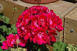 Pinnacle Plum Geranium (Pelargonium 'Pinnacle Plum') at Roger's Gardens