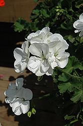 Sunrise White Geranium (Pelargonium 'Sunrise White') at Roger's Gardens