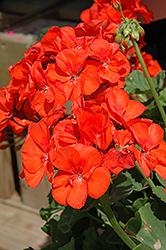 Sunrise Orange Geranium (Pelargonium 'Sunrise Orange') at Roger's Gardens