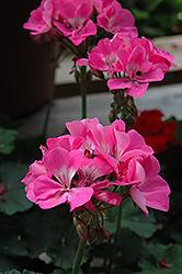 Tango Deep Pink Geranium (Pelargonium 'Tango Deep Pink') at Roger's Gardens