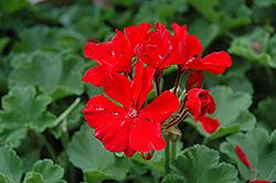 Tango Deep Red Geranium (Pelargonium 'Tango Deep Red') at Roger's Gardens