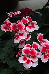 Tango Rose Mega Splash Geranium (Pelargonium 'Tango Rose Mega Splash') at Roger's Gardens