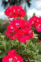 Dynamo Strawberry Geranium (Pelargonium 'Dynamo Strawberry') at Roger's Gardens