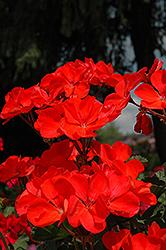 Fantasia Coral Geranium (Pelargonium 'Fantasia Coral') at Roger's Gardens
