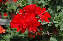 Fantasia Dark Red Geranium (Pelargonium 'Fantasia Dark Red') at Roger's Gardens