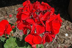 Survivor Dark Red Geranium (Pelargonium 'Survivor Dark Red') at Roger's Gardens