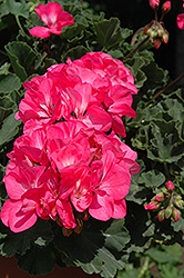 Fantasia Neon Rose Geranium (Pelargonium 'Fantasia Neon Rose') at Roger's Gardens
