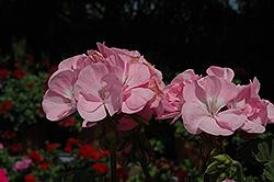 Fantasia Pink Shell Geranium (Pelargonium 'Fantasia Pink Shell') at Roger's Gardens