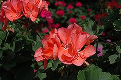 Fantasia Salmon Geranium (Pelargonium 'Fantasia Salmon') at Roger's Gardens