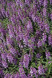 Serenita Blue Angelonia (Angelonia angustifolia 'Serenita Blue') at Roger's Gardens