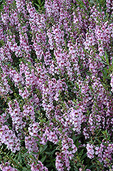 Serenita Lavender Angelonia (Angelonia angustifolia 'PAS1209524') at Roger's Gardens