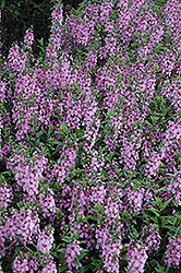 Serenita Lavender Pink Angelonia (Angelonia angustifolia 'Serenita Lavender Pink') at Roger's Gardens
