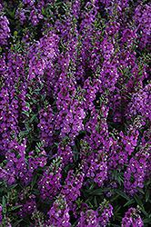 Serena Purple Angelonia (Angelonia angustifolia 'PAS1180781') at Roger's Gardens