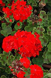Horizon Scarlet Geranium (Pelargonium 'Horizon Scarlet') at Roger's Gardens