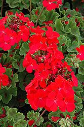 Horizon Deep Red Geranium (Pelargonium 'Horizon Deep Red') at Roger's Gardens