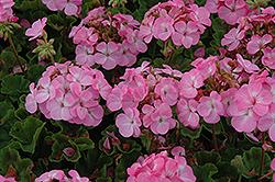 Horizon Lavender Geranium (Pelargonium 'Horizon Lavender') at Roger's Gardens