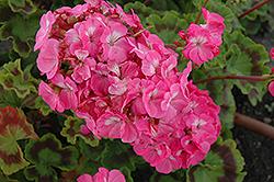 Horizon Deep Rose Geranium (Pelargonium 'Horizon Deep Rose') at Roger's Gardens