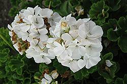Horizon White Geranium (Pelargonium 'Horizon White') at Roger's Gardens