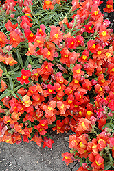Candy Showers Orange Snapdragon (Antirrhinum majus 'Candy Showers Orange') at Roger's Gardens