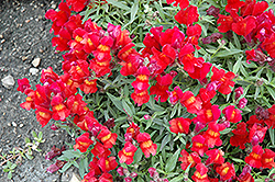 Candy Showers Red Snapdragon (Antirrhinum majus 'Candy Showers Red') at Roger's Gardens