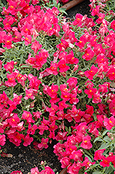 Candy Showers Rose Snapdragon (Antirrhinum majus 'Candy Showers Rose') at Roger's Gardens