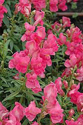 Speedy Sonnet Rose Snapdragon (Antirrhinum majus 'Speedy Sonnet Rose') at Roger's Gardens