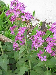 Biennial Money Plant (Lunaria annua) at Roger's Gardens