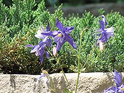 Blue Star Columbine (Aquilegia caerulea 'Blue Star') at Roger's Gardens