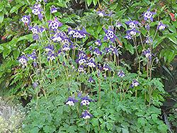 Blue Butterflies Columbine (Aquilegia 'Blue Butterflies') at Roger's Gardens
