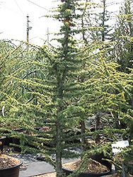 Golden Atlas Cedar (Cedrus atlantica 'Aurea') at Roger's Gardens