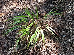 Red Wind Hakone Grass (Hakonechloa macra 'Beni-Kaze') at Roger's Gardens