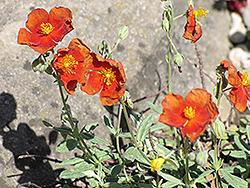 Henfield Brilliant Rock Rose (Helianthemum 'Henfield Brilliant') at Roger's Gardens