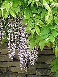 Longissima Wisteria (Wisteria sinensis 'Longissima') at Roger's Gardens