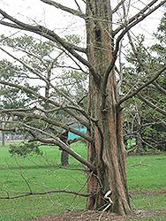 Dawn Redwood (Metasequoia glyptostroboides) at Roger's Gardens