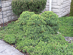 Dwarf Japgarden Juniper (Juniperus procumbens 'Nana') at Roger's Gardens